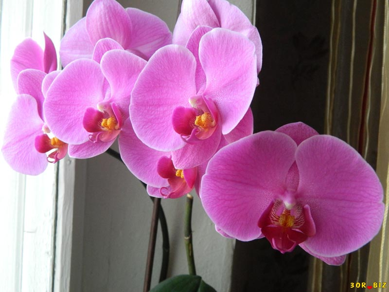 архидея или орхидея