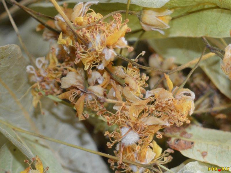 цветки липы от холестерина