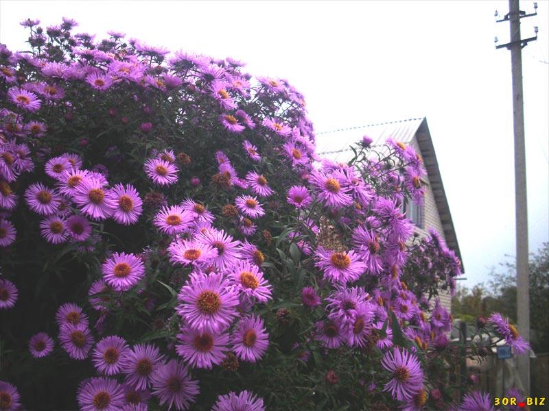 Почему не цветет астра альпийская