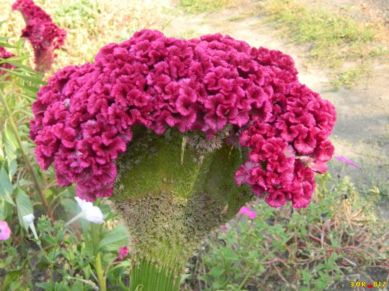 гребешки фото цветы