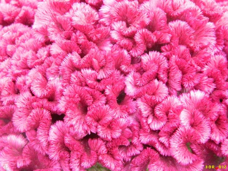 Цветок гребешок посадка и уход фото