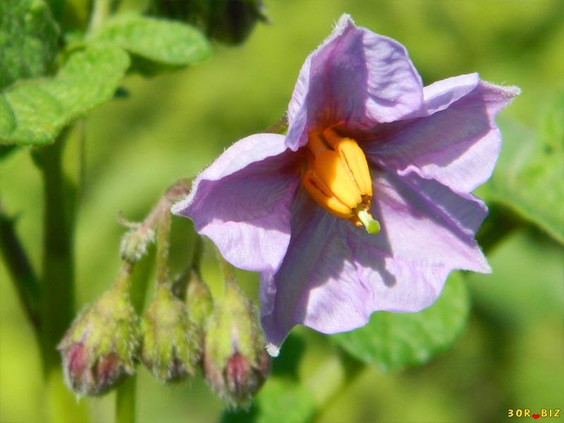 Цветок картофеля